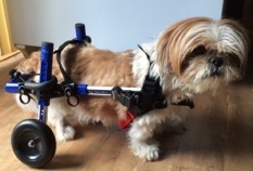 Toffee in his Walkin' Wheels